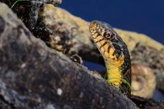 С ромбовидным рисунком на спине rhombifer SnakeNerodia воды Стоковая Фотография