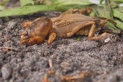 Служба борьбы с грызунами и паразитами - южный сверчок моли Стоковая Фотография RF
