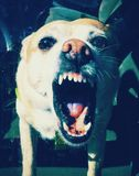 Служебная собака Стоковые Изображения