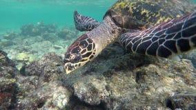 С черепахой в коралловом рифе видеоматериал