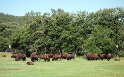 Слышать бизона в Южной Дакоте Стоковая Фотография RF