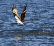 с osprey принимая воду Стоковая Фотография RF