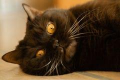 Сat苏格兰平直褐巧克力色-一只说谎的宠物的照片 图库摄影