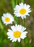 Сhamomile flower Stock Photos