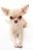 Сhihuahua on white background royalty free stock images
