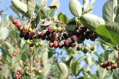 Сhokeberry. Aronia is ripening in the rural garden on a blue sky background royalty free stock photography