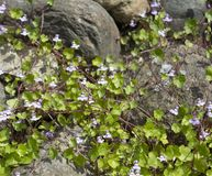 Ð¡limbing plant with small blue flowers on large decorative stones stock image