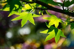 Ð¡lose-up of bright green leaves Liquidambar styraciflua, Amber tree against sun and colorful bokeh background. Of garden. Nature concept for design royalty free stock photos