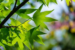 Ð¡lose-up of bright green leaves Liquidambar styraciflua, Amber tree against sun and colorful bokeh background of garden. Nature concept for design royalty free stock images