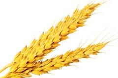Сouple ушей пшеницы. Изолированный над белизной. стоковые изображения