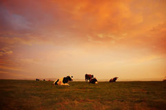 �ows on a danish farm Royalty Free Stock Images
