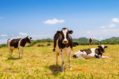 Ð¡ows grazing in the farmland Royalty Free Stock Images