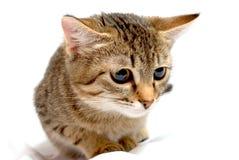 Сurious小猫。 免版税库存图片