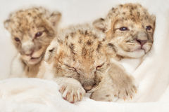 Ð¡ute lions cubs Royalty Free Stock Photography