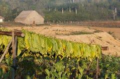 Табак засыхания на кубинских полях Стоковая Фотография