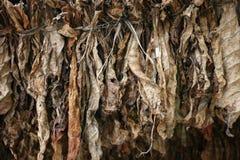 табак листьев засыхания Стоковые Изображения