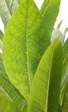 табак листьев Стоковые Фото