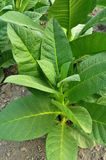 табак листьев Стоковые Изображения
