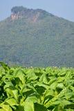 табак поля Стоковое Фото