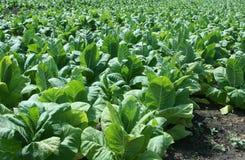табак фермы Стоковые Фотографии RF