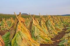 табак хлебоуборки Стоковые Фото
