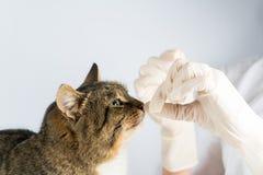 Таблетка кота Больное животное ветеринар кот медицины дать коту таблетку стоковые фото