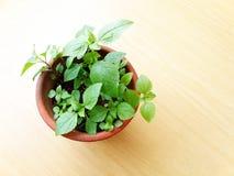 таблица зеленого завода potted деревянная Стоковые Фотографии RF