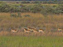 Табуните южное lechwe, leche Kobus, в высокорослой траве, на подкове озера в Bwabwata, Намибия стоковая фотография rf