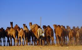 табунить верблюда справедливый pushkar Стоковое Фото
