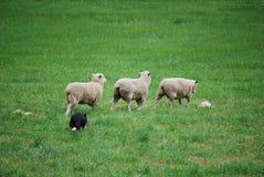 табунить овец стоковые фотографии rf