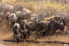 Табуны антилопы гну на банках реки Mara Стоковое Изображение