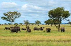 Табуны африканских слонов в национальном парке Serengeti Стоковое Изображение