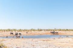 Табуны большой питьевой воды kudus и слонов Стоковое фото RF