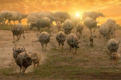 Табуны буйвола в сельской местности, Таиланде, селективном фокусе стоковые изображения rf