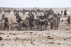 Табуны зебры и антилопы на waterhole Etosha, Намибии Стоковое Изображение