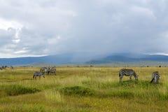 Табуны зебры и голубой антилопы гну пася в саванне Стоковые Изображения RF