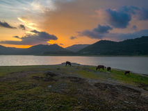 Табуны коровы на ферме около озера Стоковая Фотография