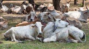 Табуны коровы Стоковые Фото