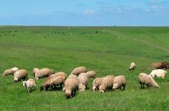Табуны овец и коров стоковая фотография rf