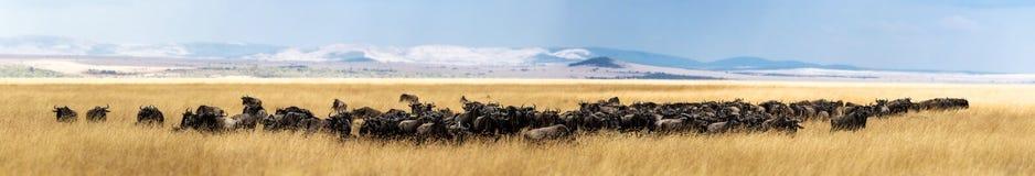 Табун антилопы гну в высокорослой панораме травы Кении Стоковое Фото