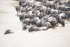 Табун антилопы гну пересекая реку в Африке Стоковое Изображение
