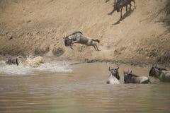 Табун антилопы гну пересекая реку в Африке Стоковые Изображения
