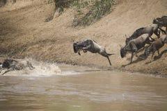 Табун антилопы гну пересекая реку в Африке Стоковые Изображения RF