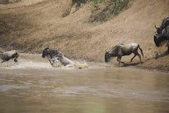 Табун антилопы гну пересекая реку в Африке Стоковые Фото
