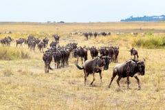 Табун антилопы гну проникая в Африке Стоковое Изображение