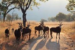 табун антилопы стоковые фотографии rf