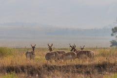 Табун антилопы Pronghorn в колейности Стоковая Фотография RF
