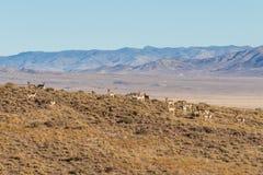 Табун антилопы Pronghorn в Юте Стоковое фото RF