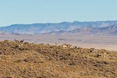 Табун антилопы Pronghorn в Юте Стоковая Фотография