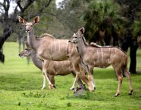 Табун антилопы Sitatunga стоковое фото rf